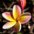 frangipani smile by sabrina card