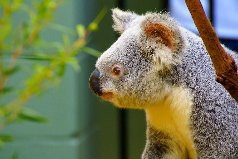 Koala Alert by diddle