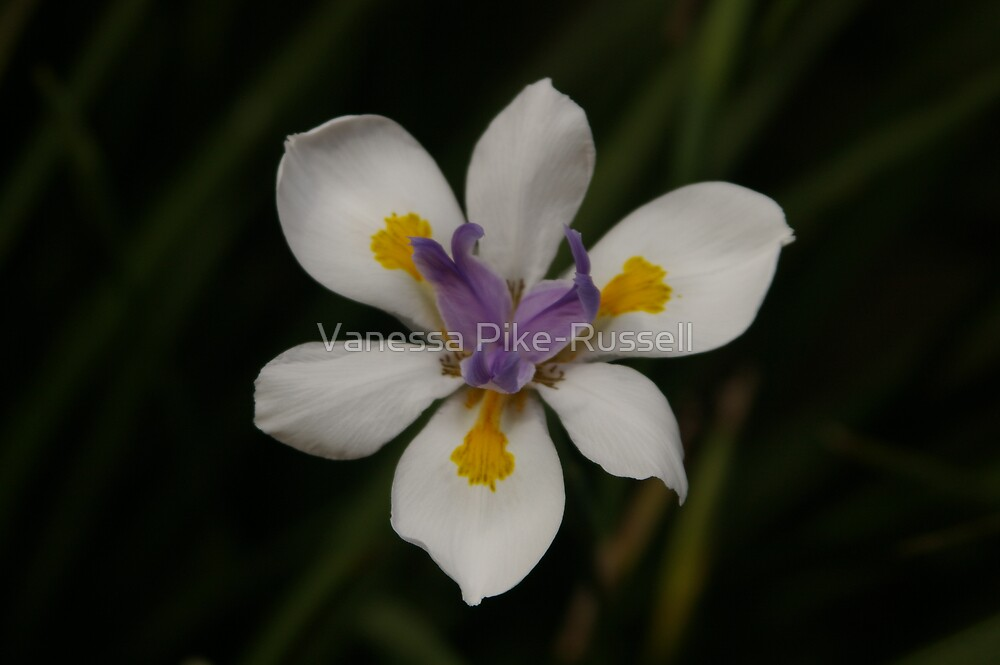 Iris flower by Vanessa Pike-Russell