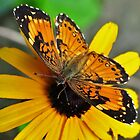 Silvery Checkerspot on Black Eyed Susan by Ron Russell