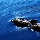 Pilot Whales by Catalin Soare