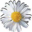 New Daisy by Maree Toogood