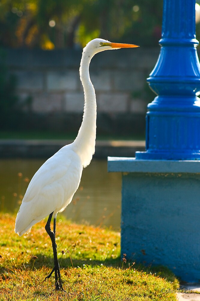 The Great Egret by Colin Tobin