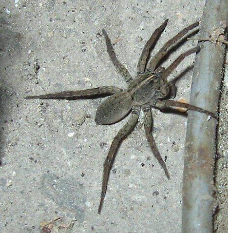 Grey spider by mrskritter