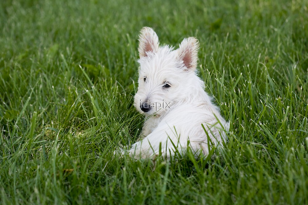 Scottish Terrier Pup in the Grass by idapix