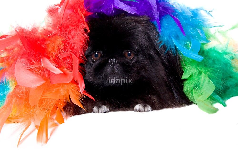 Pekingese Under Rainbow Feathers by idapix