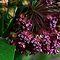 Pink Wildflowers of North America