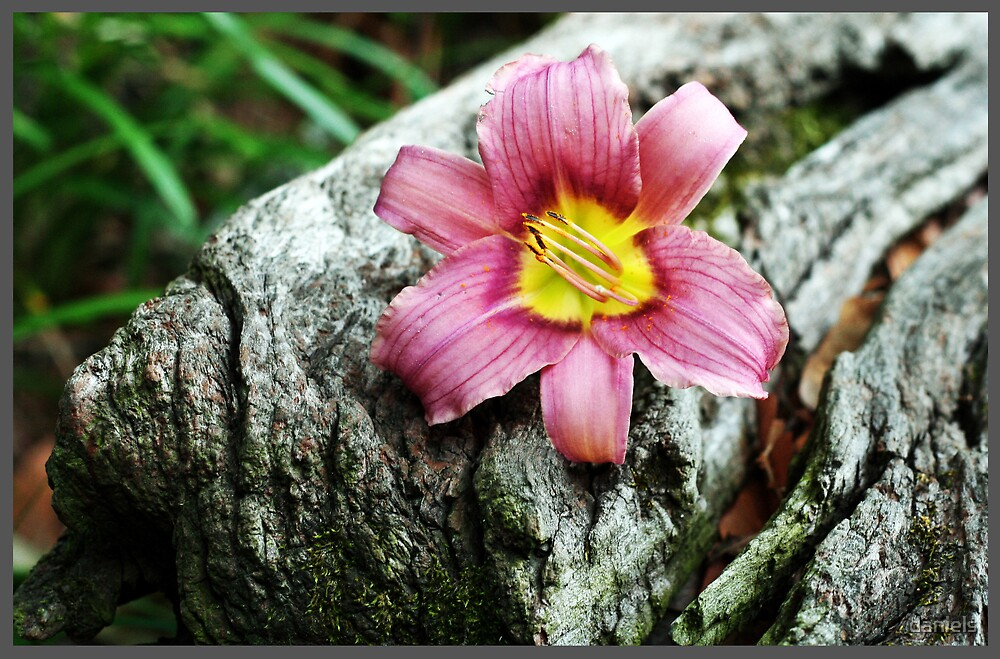 daylily on old wood rail by daniels