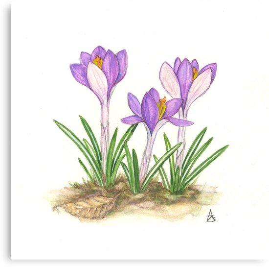 Tomas's Saffron - Crocus tommasinianus by Sue Abonyi
