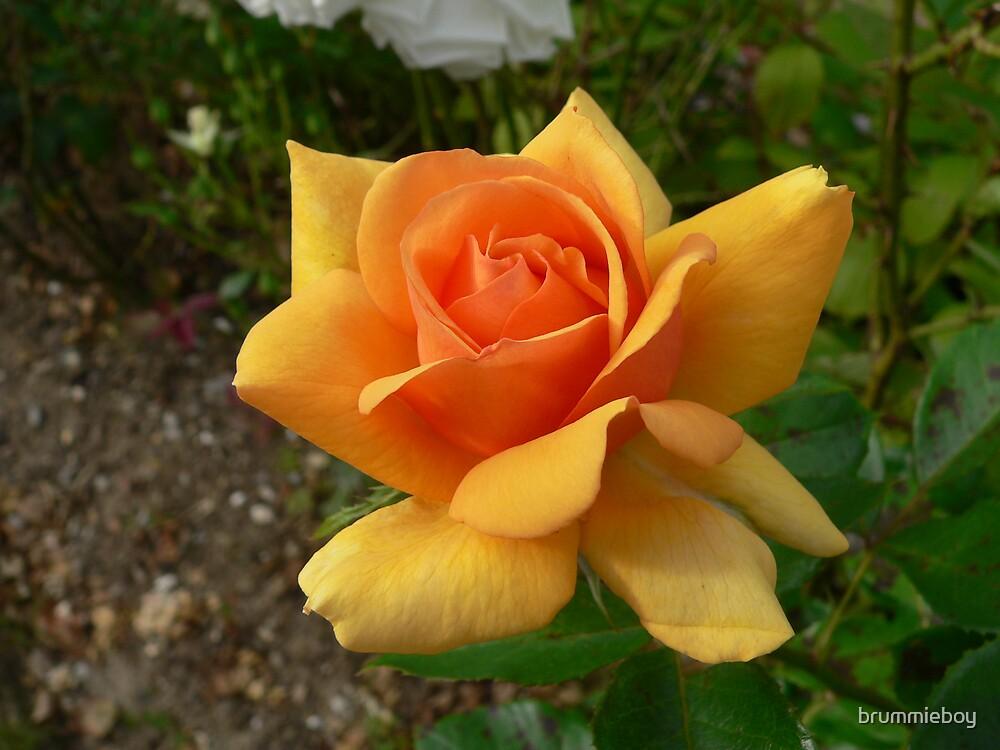 Orange Rose  by brummieboy