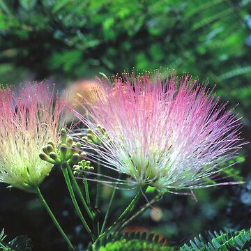 La Mimosa by velveteagle