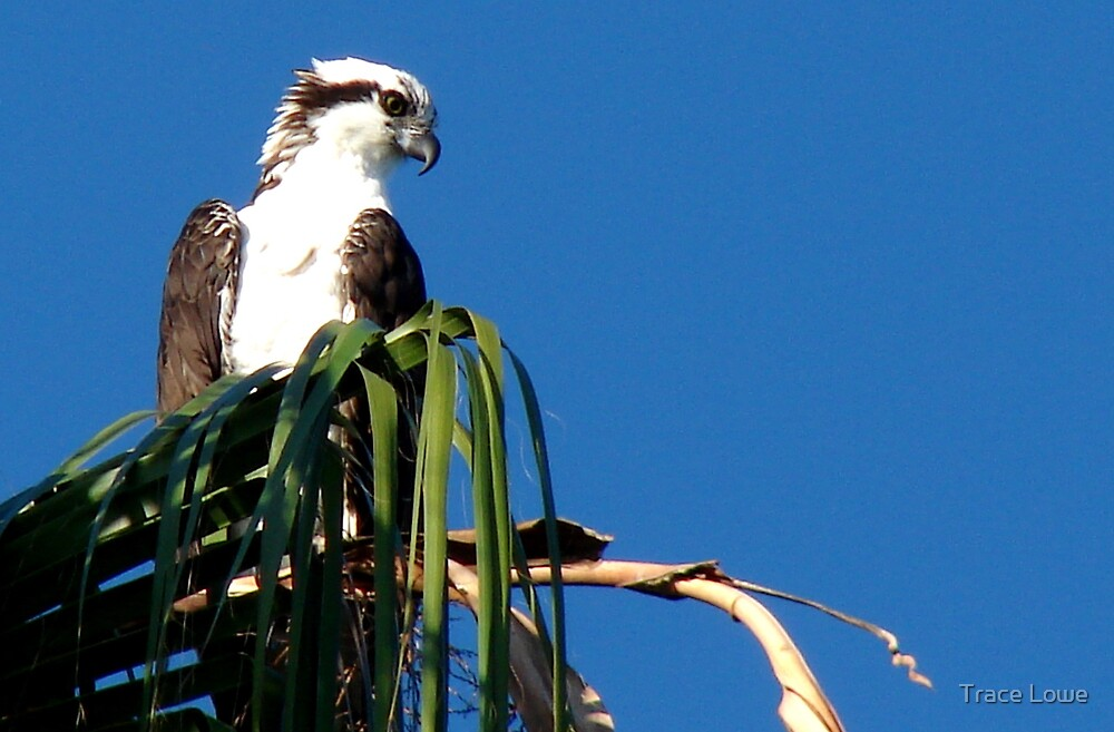 Osprey, Pandion haliaetus by Trace Lowe