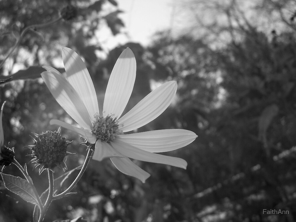 A Daisy in Black and White by FaithAnn