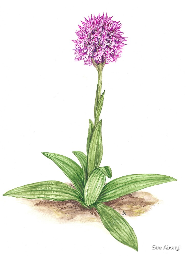 Three-toothed Orchid  - Orchis tridentata by Sue Abonyi