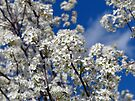 Bradford Pear Blooms by FrankieCat