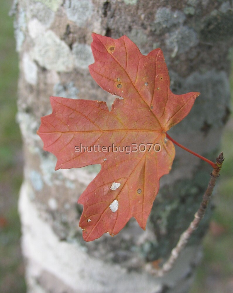 Autumn Leaf 2 by shutterbug3070