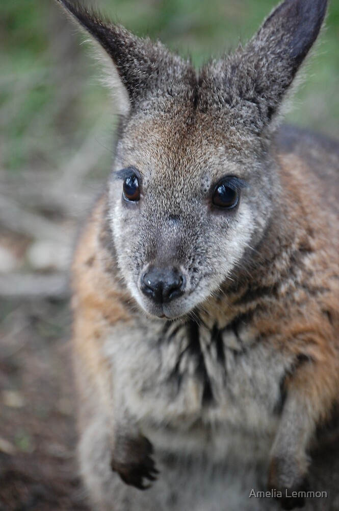 Wallaby by Amelia Lemmon