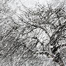 9.3.2017: Apple Tree and Snowfall III by Petri Volanen