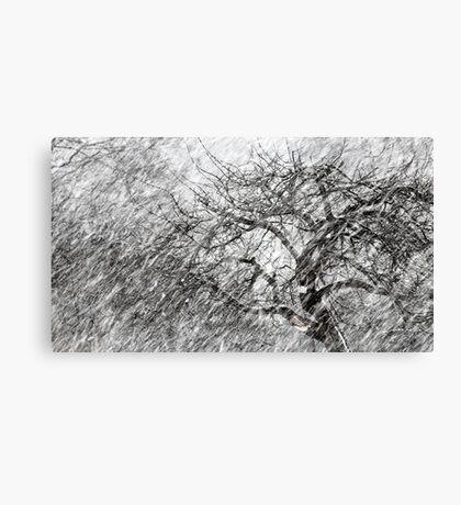 9.3.2017: Apple Tree and Snowfall III Canvas Print