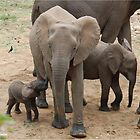 A BABY NEEDS FEEDING -  THE AFRICAN ELEPHANT – Loxodonta Africana by Magriet Meintjes