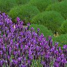 Lavendar Field by AustralianImagery