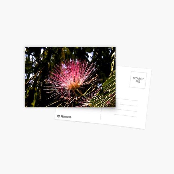Acacia Tree Flower2 Postcard