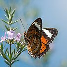Butterfly on Pink Flower by AustralianImagery