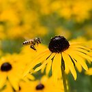 Busy Bee by AustralianImagery