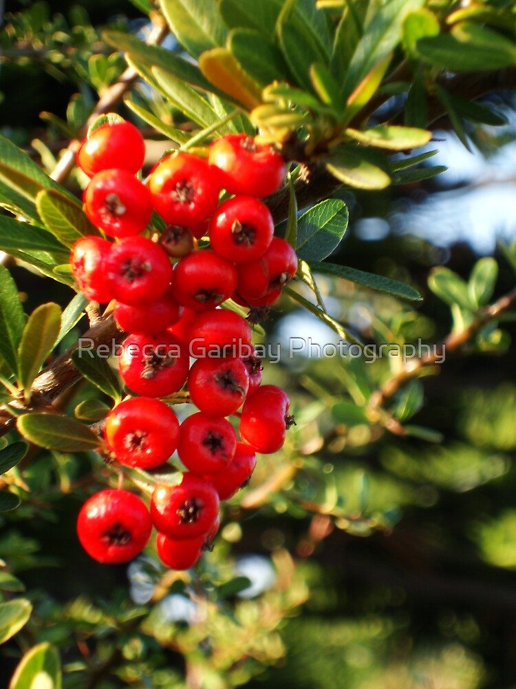 Red Berries by Rebecca Garibay Photography