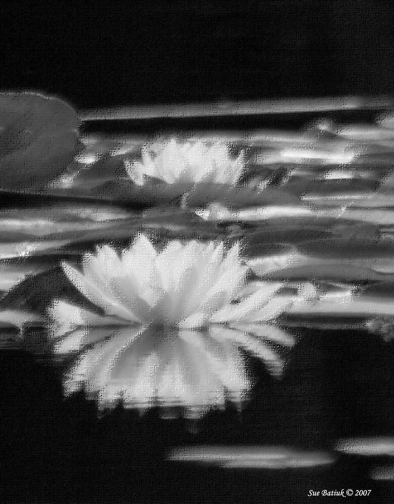 water lily by panthrcat