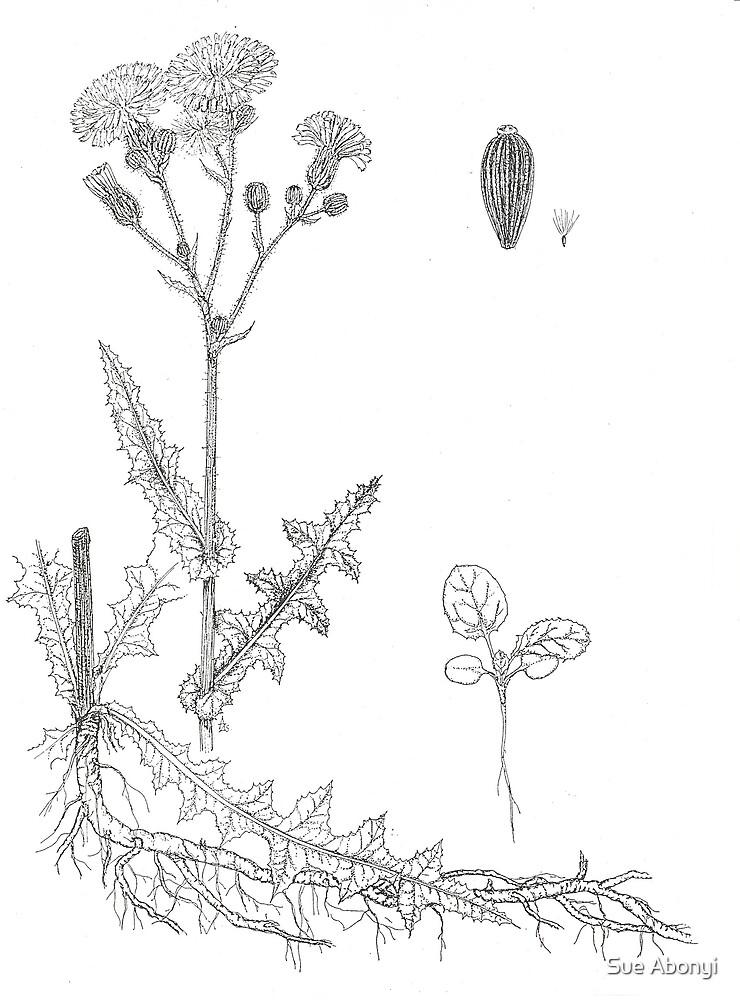 Sonchus arvensis by Sue Abonyi