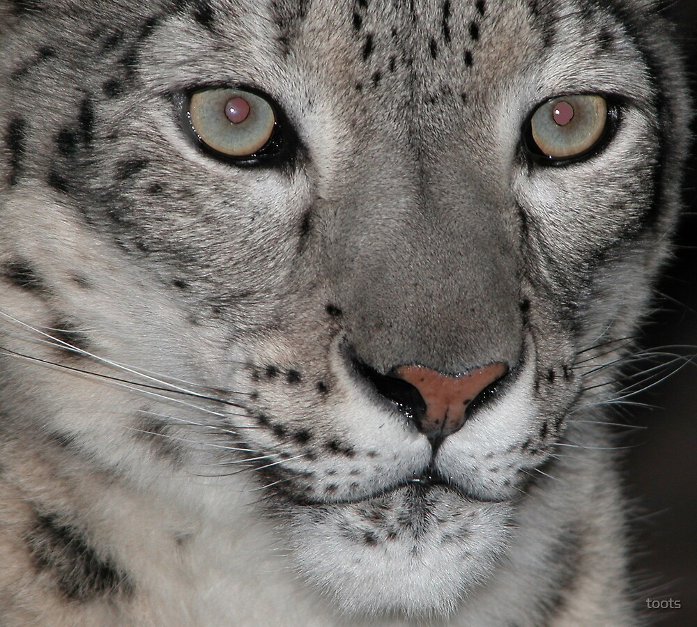 Snow leopard by toots