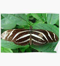 Zebra Longwing Butterfly - Open Wings Poster