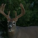 here's our big buck by panthrcat