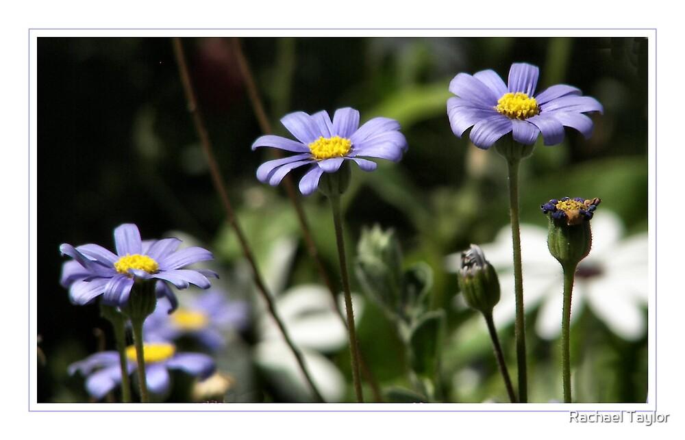 Daisy Blue by Rachael Taylor