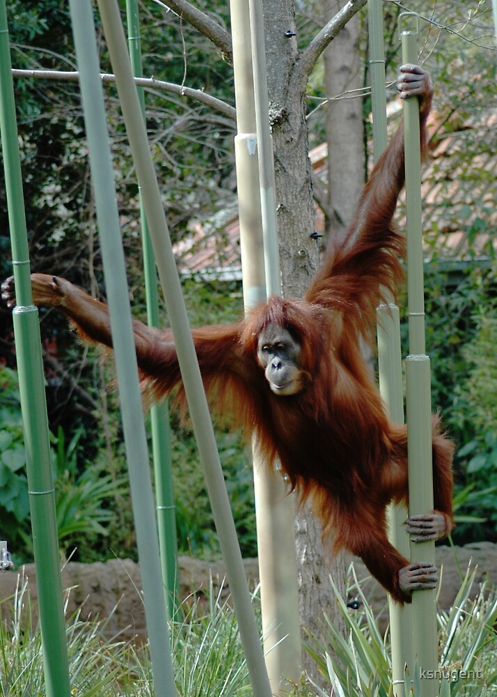 Orangutang by ksnugent