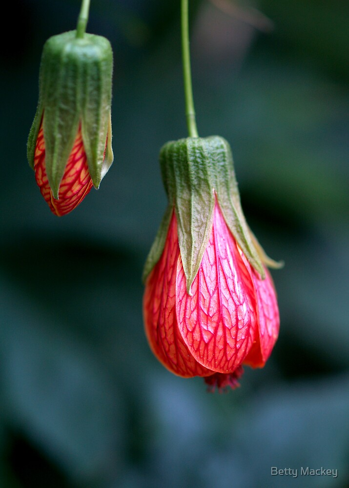 Red Abutilon by Betty Mackey