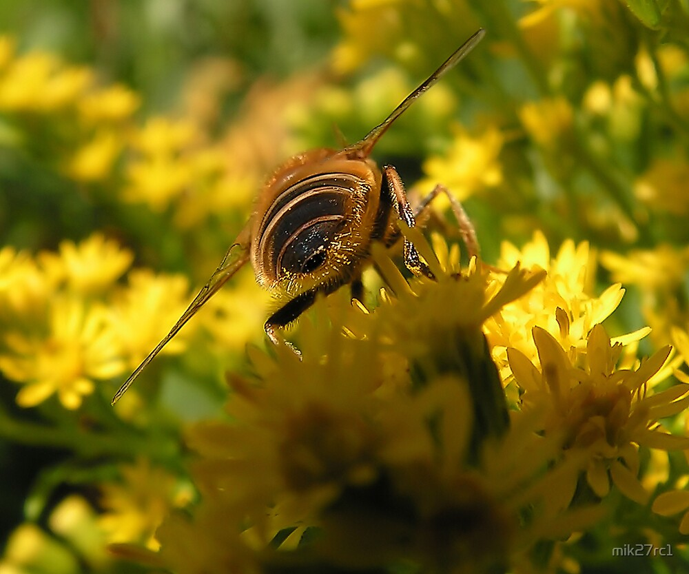 hoverfly bum!! by mik27rc1