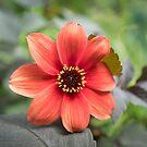 A Peachy Dahlia by Clare Colins