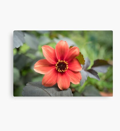 A Peachy Dahlia Canvas Print
