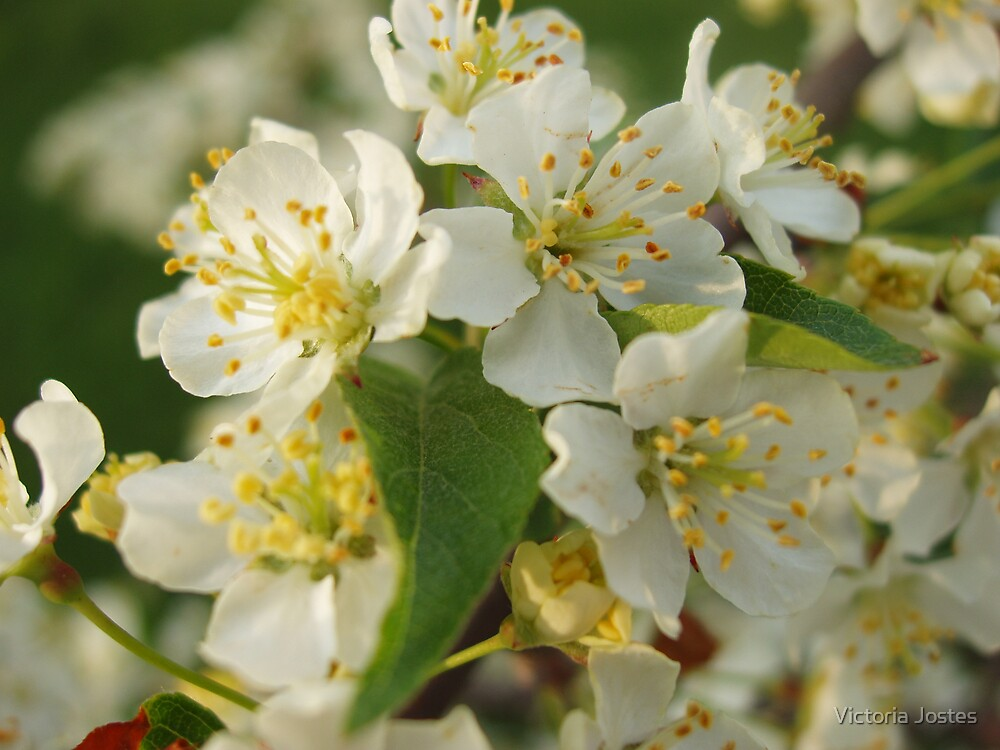White Crabapple Blossoms by Victoria Jostes