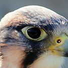 Saker Falcon by Clive
