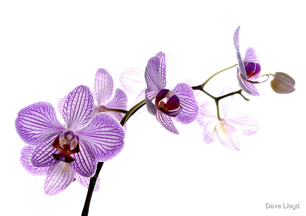 Orchid Light 7 by Dave Lloyd
