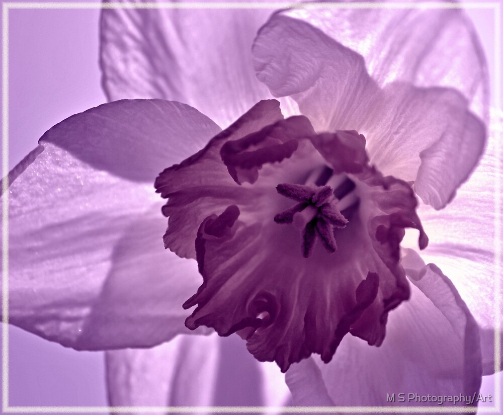 Lilac Daffodil by M S Photography/Art