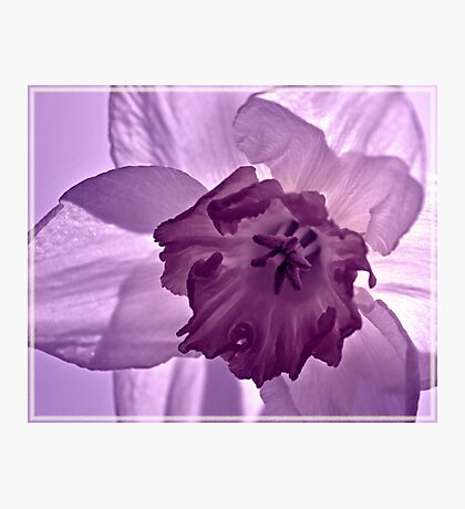 Lilac Daffodil Photographic Print