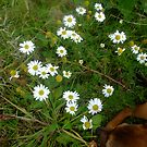Wild Daisies of Ireland by anamcara