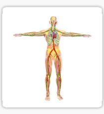 Human circulatory system. Sticker
