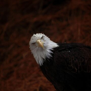 Bald Eagle by TVD-Photography