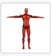Human muscular system. Sticker
