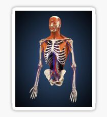 Human upper body showing bones, muscles and circulatory system. Sticker